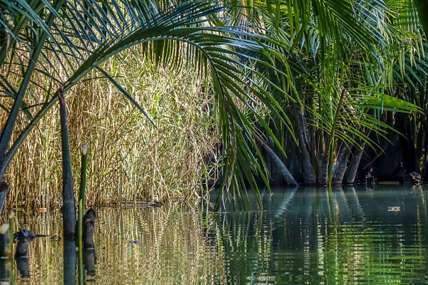 Hooi An Coconut Palms. Nipa Palms. Hoi An Kayak Tours. Channel through the Nipa Palms.